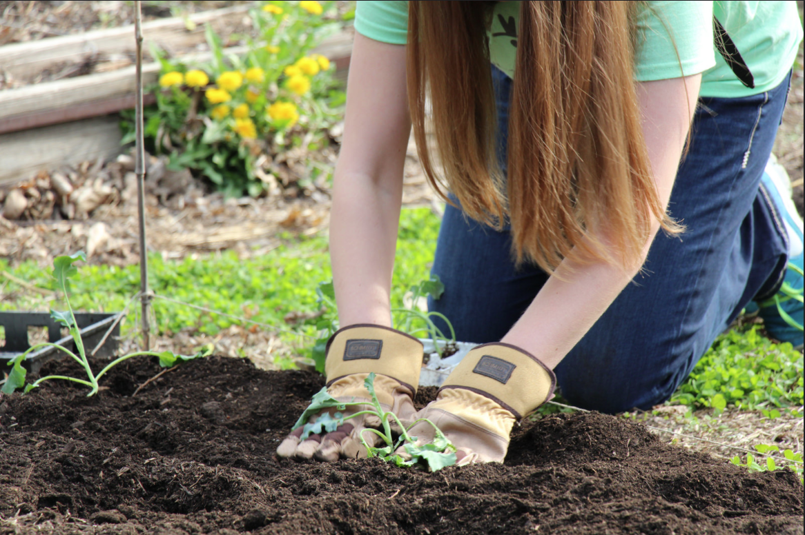 Close up of Avila student's hands as she plants a vegetable plant in a garden