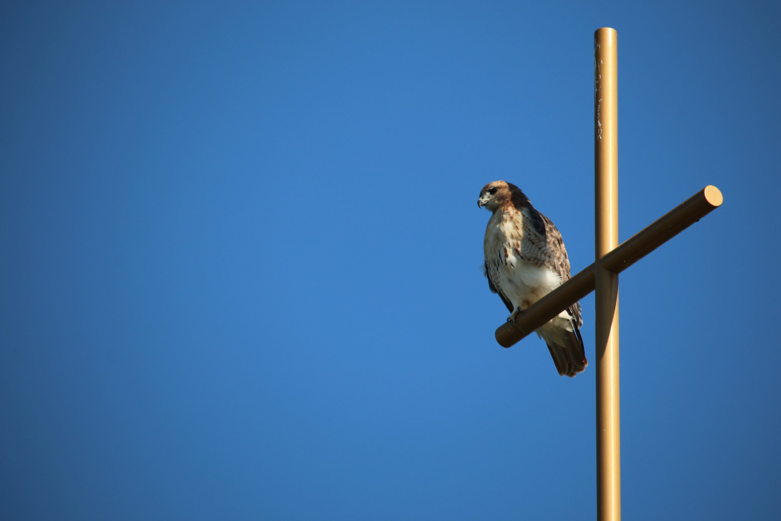 Red-tailed hawk perched on the cross above Foyle Hall