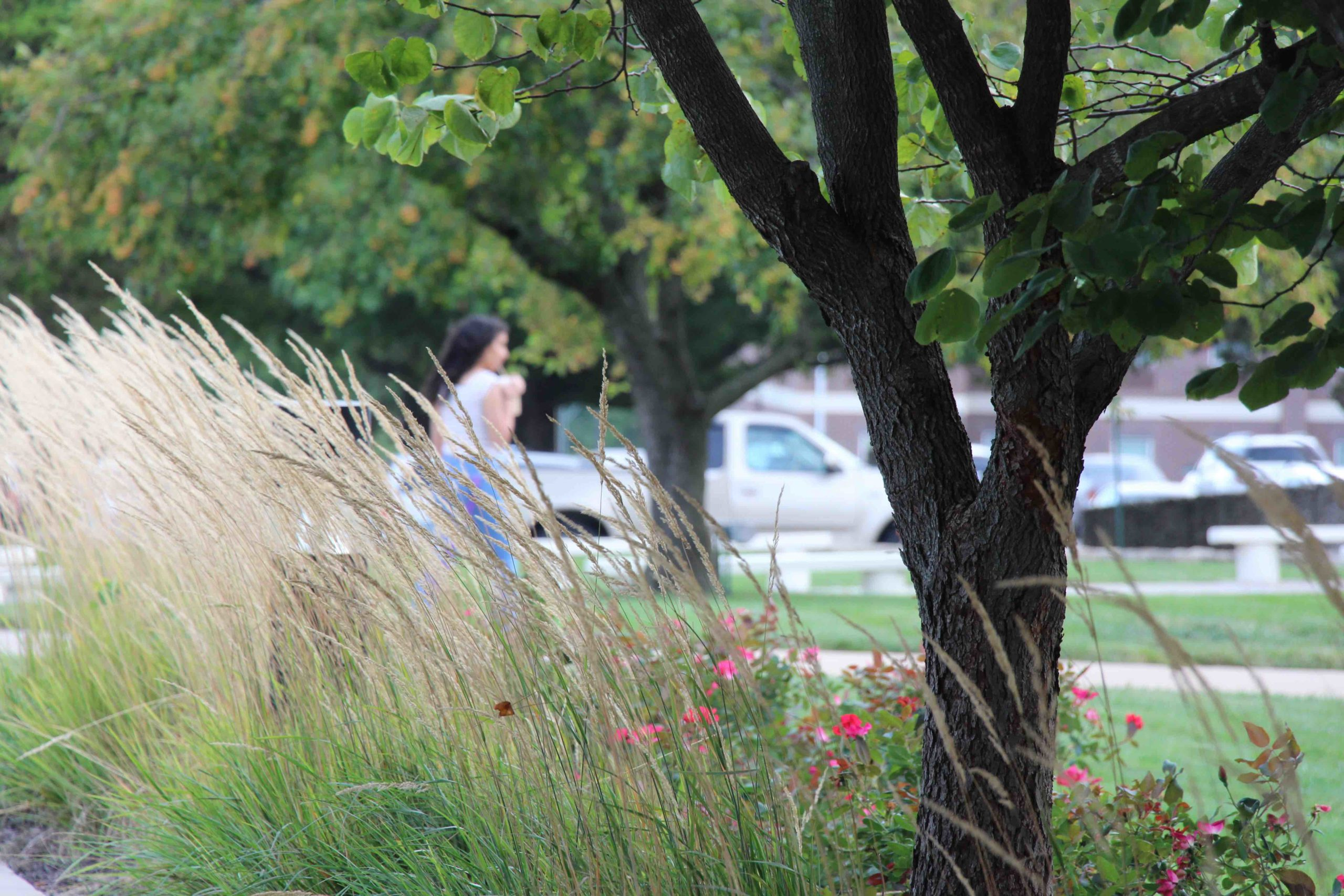A student walks on campus behind a planting of native grasses
